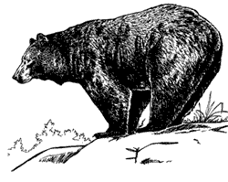 black_bear_bw_drawing